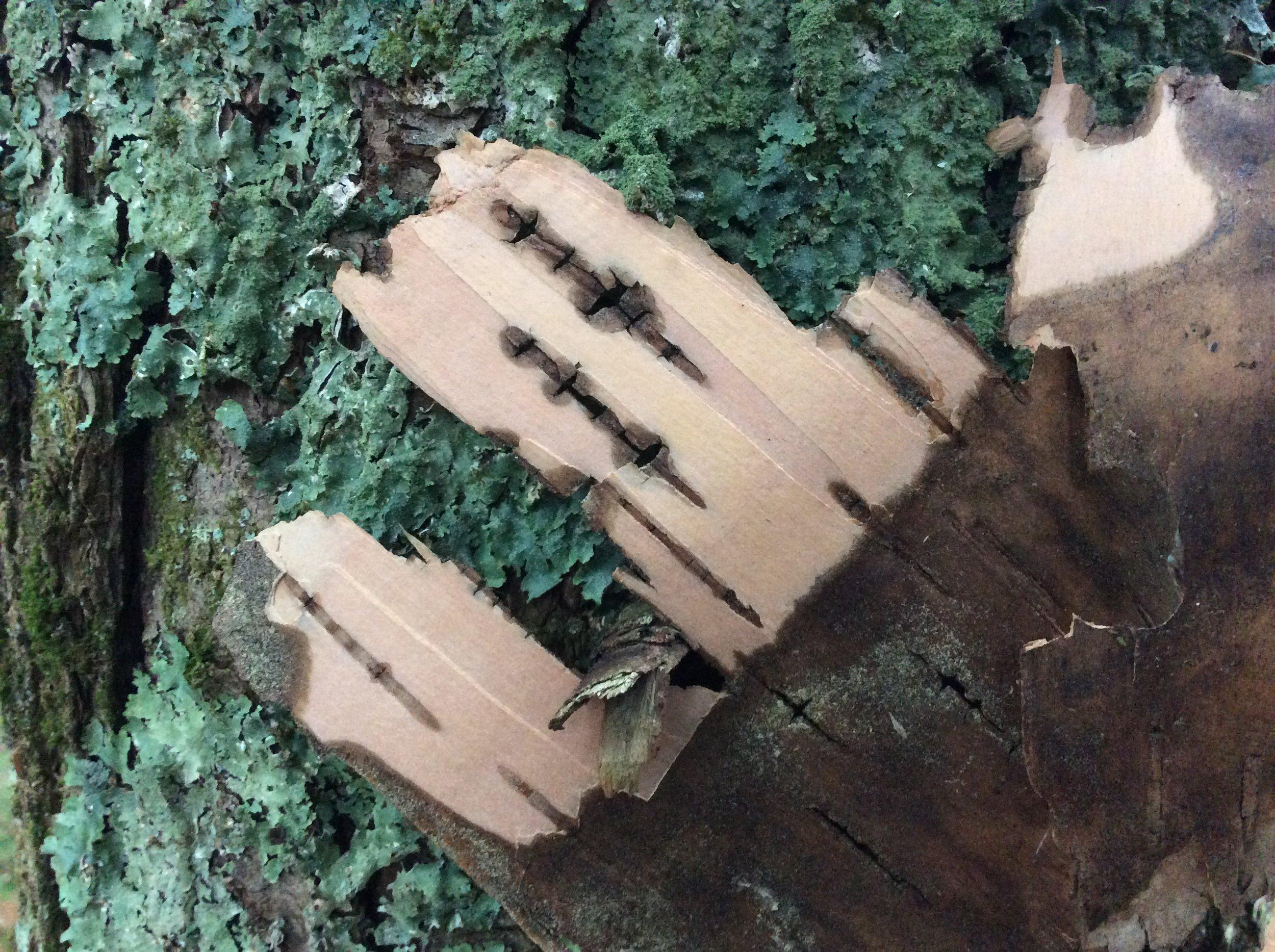Bark-lichen.JPG