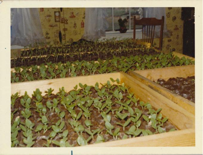 watermelon seed starts in kitchen EF HIST.jpg