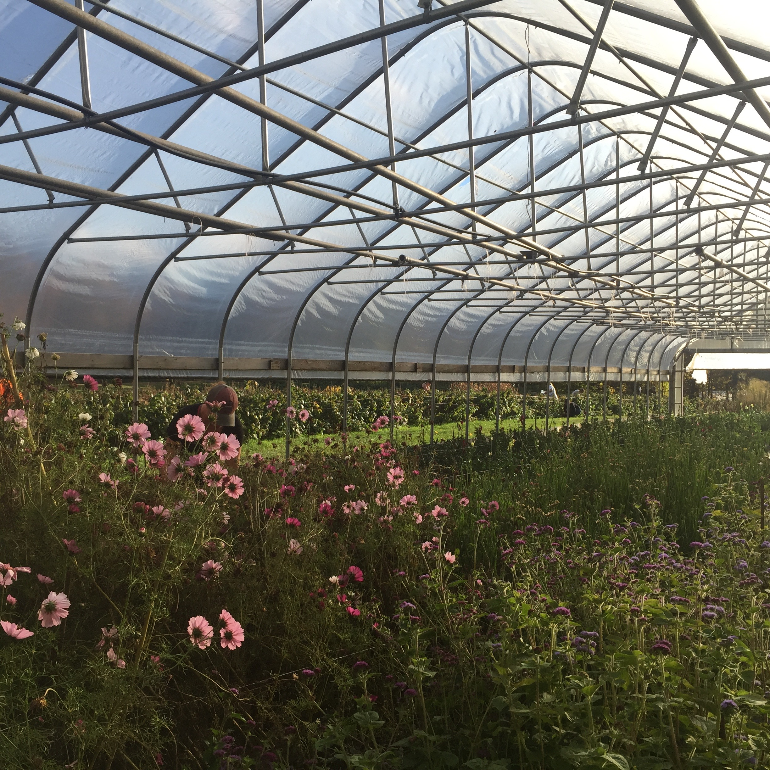 pictured here, last season's cosmos planted in our greenhouse next to our raspberry field- a honey bee's paradise.