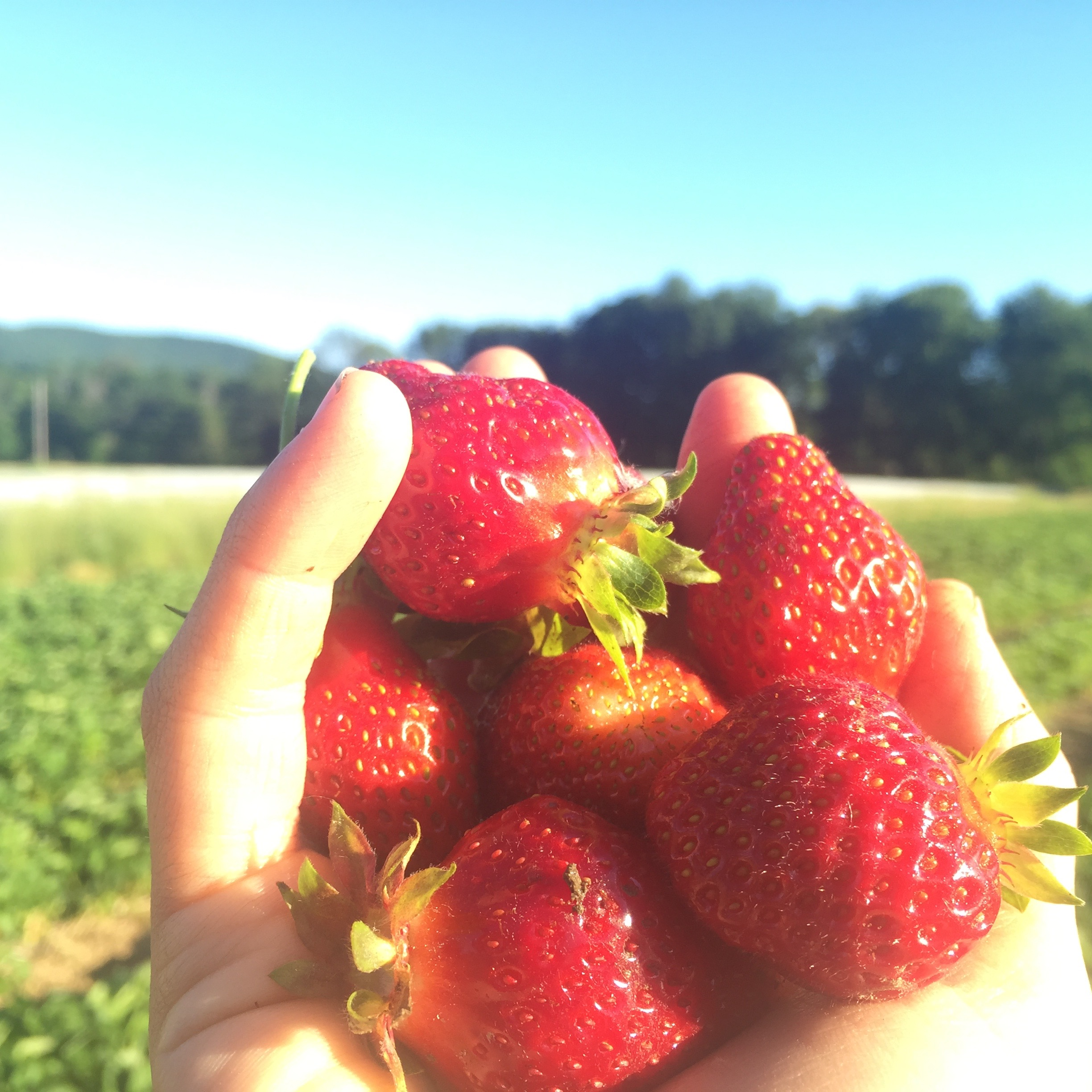 pictured here, our own berries taken in our own field- fresh picked in the morning light, absolutely amazing flavor, probably wouldn't last more then 5 days in your fridge- but why would you want to wait that long to eat anyway?