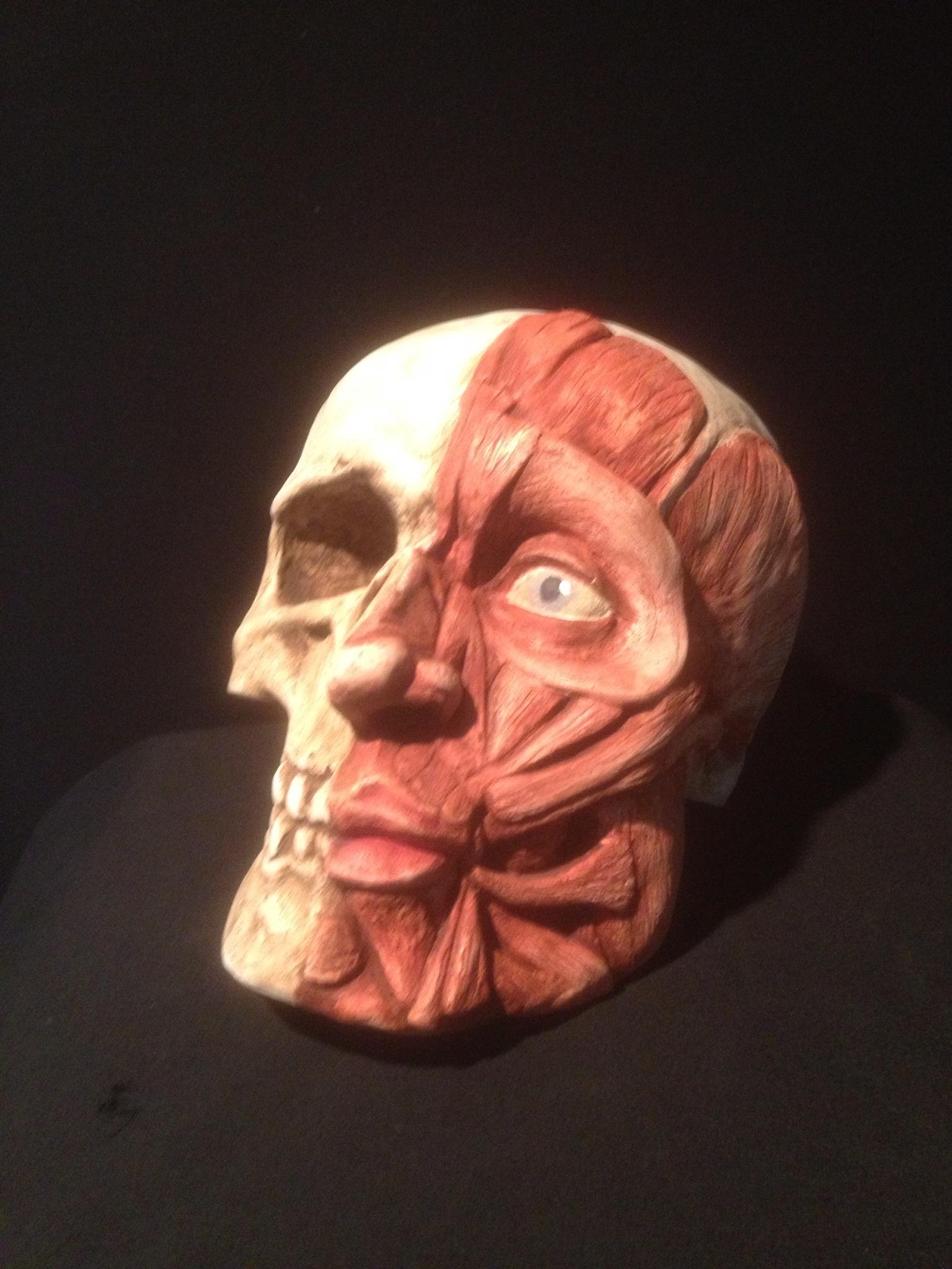Ecorche skull