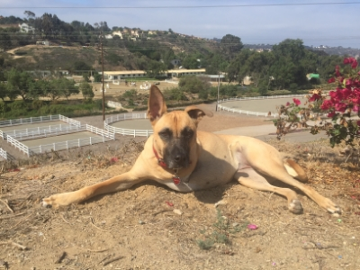 In December of 2014, Thrive was contacted about Emma, a young, healthy Belgian Malinois mix with a severely broken leg in need of amputation. The shelter did not have the resources to pay for her necessary medical care, so the volunteers were looking for a rescue organization to intervene before she was euthanized the next morning. A Thrive volunteer pulled her from the shelter and we paid for the surgery. The family who fostered her during her recovery (founding Thrive member Susie Saladino and Greg Buttner)ended up adopting her as their own after a failed adoption attempt that Emma clearly did not think was a good fit. Shepherds are funny that way.Her hobbies now include hiking, chasing lizards and keeping everyone in line at her forever home in Carlsbad. When she isn't playing, she is involved in community service events which include educating children on the gift of overcoming adversity.