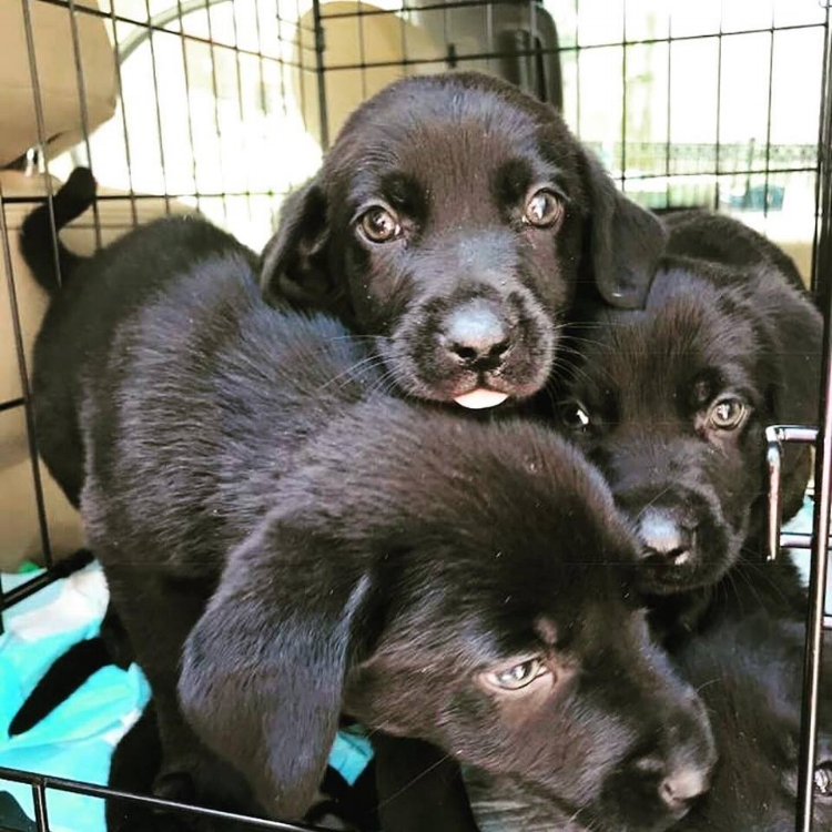 These Black Lab mix puppies will be turning 12 weeks on arrival and the applications are flying in! Six females, four males and one is a chocolate!