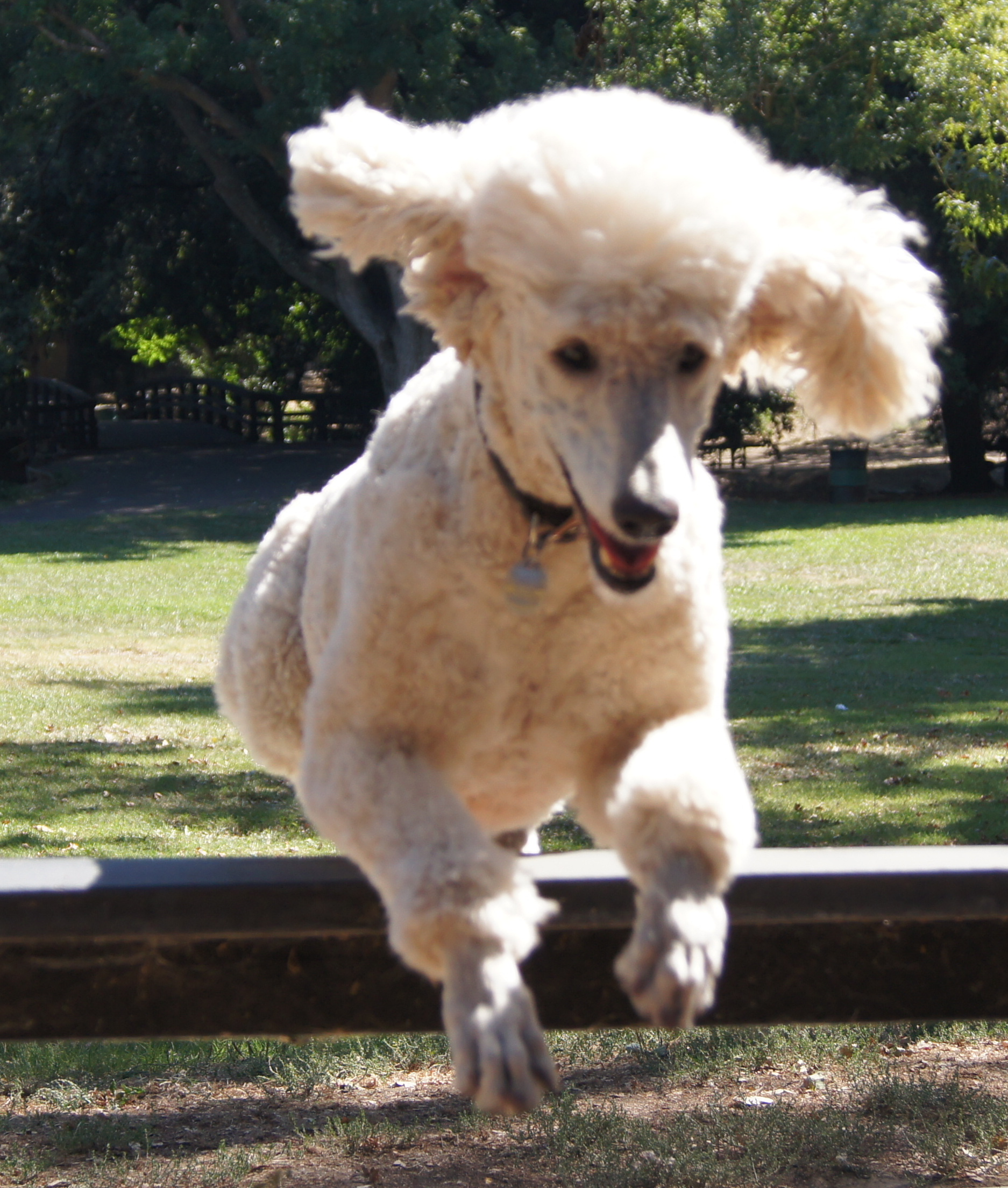 Bobo jumping a fence at the park where I take him everyday.  2010