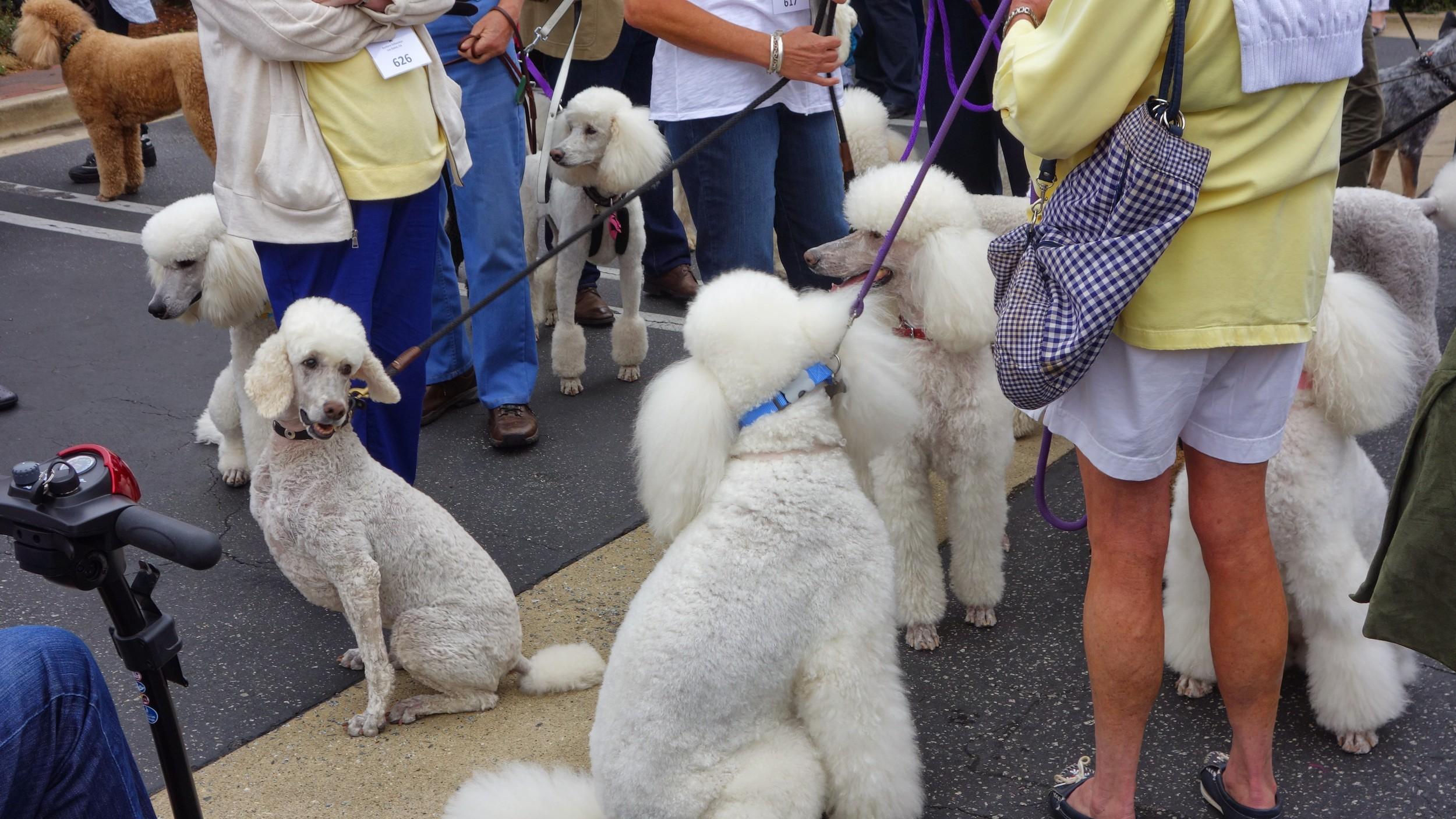 Bobo clones at an insane poodle parade in Carmel, California.    9/2014