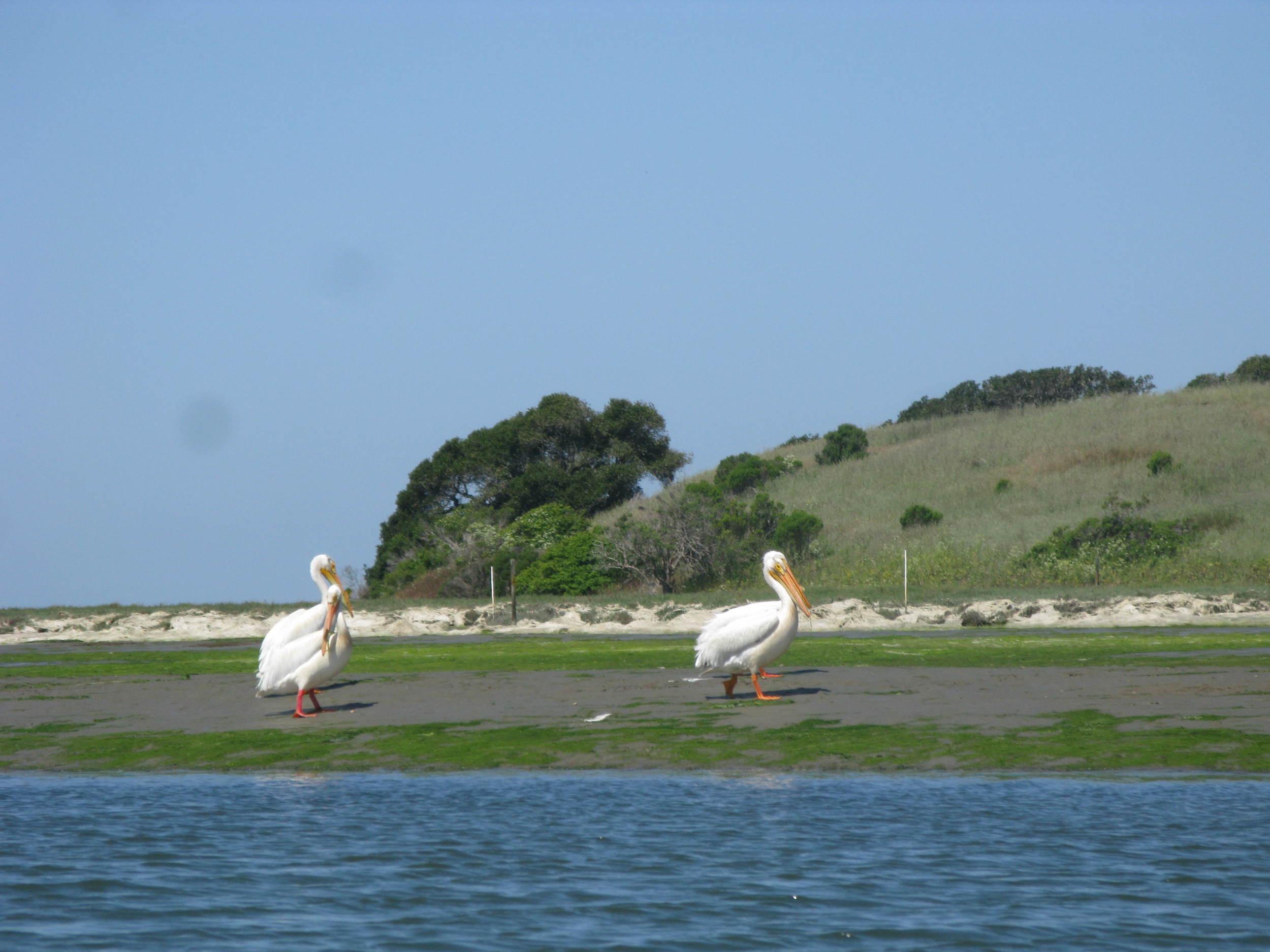 Pelicans around Carmel, California.