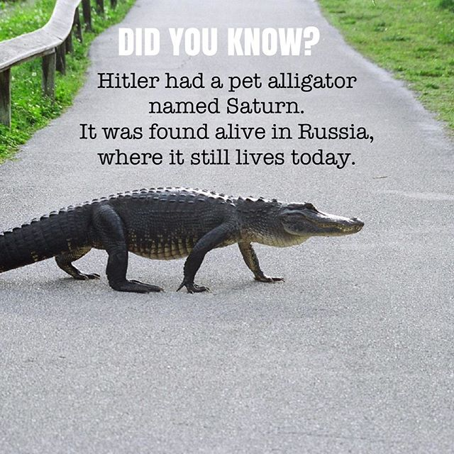 Fact or fiction? Comment below 👇 • • • • • #factorfiction #knowledgeispower #interestingfacts #thematterathand #podcast #what #wtf #yeah #wildlifephotography #alligator