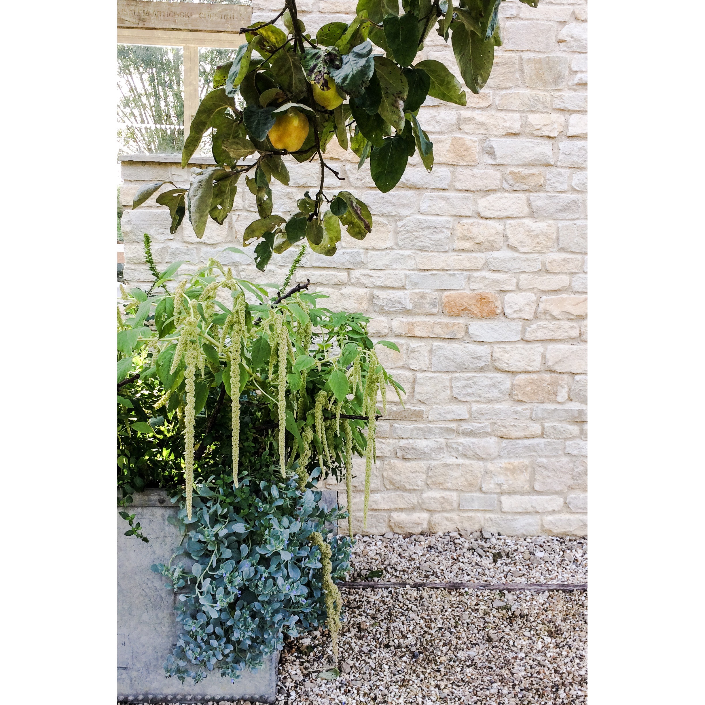 Pear Tree, exterior of the Chelsea Garden Room, Daylesford, August.