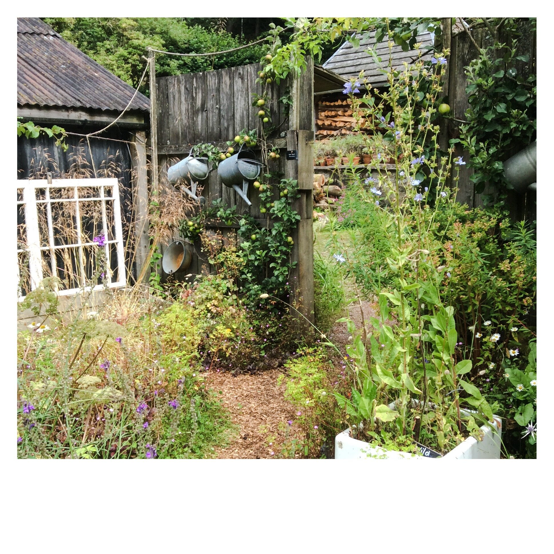 The Potager at Nant y Bedd, August 2019.