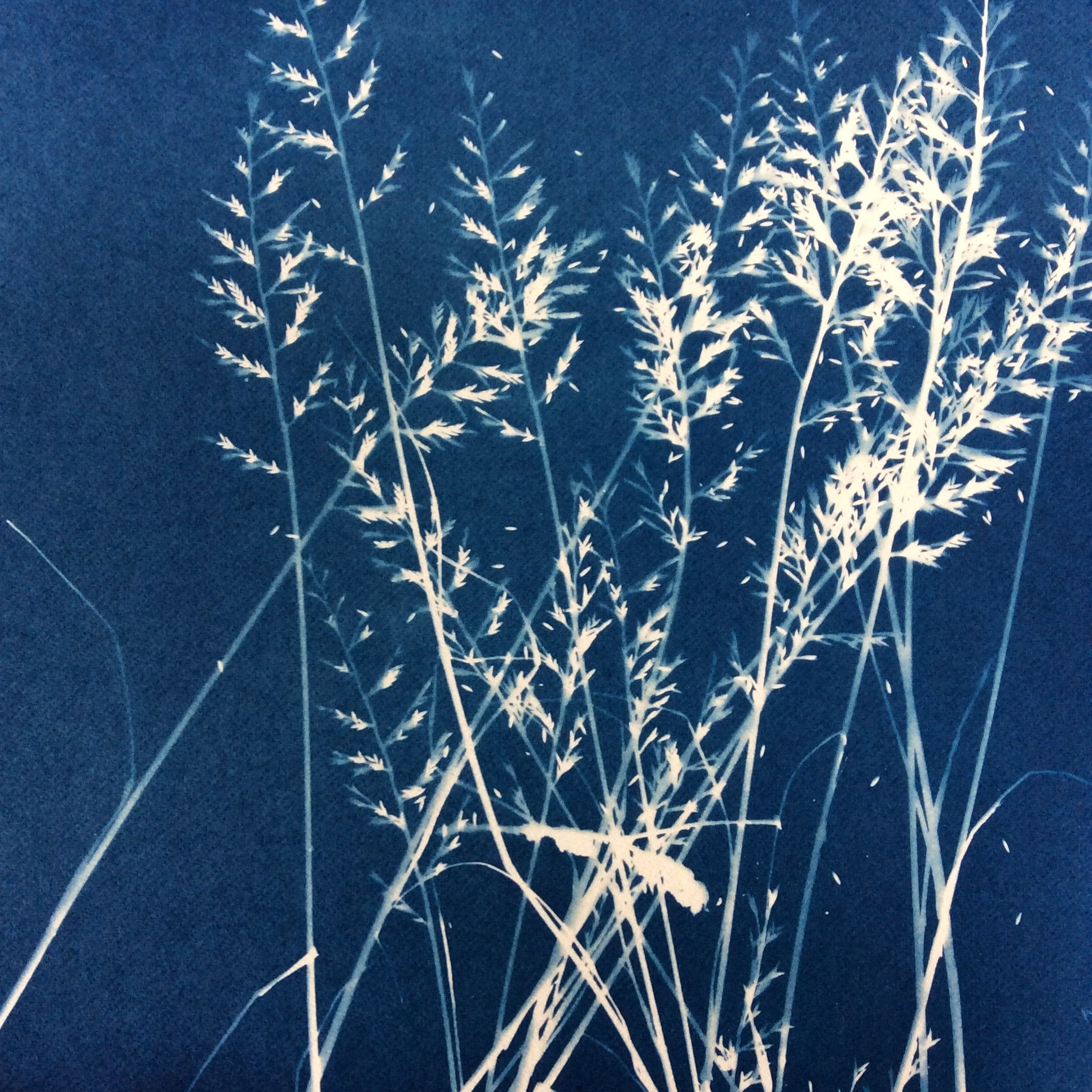 Blueprint of Grasses found in the hedgerows at the Farm.