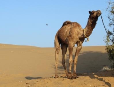 """""""Romeo"""" the camel,Thar Desert, India -December 2011."""