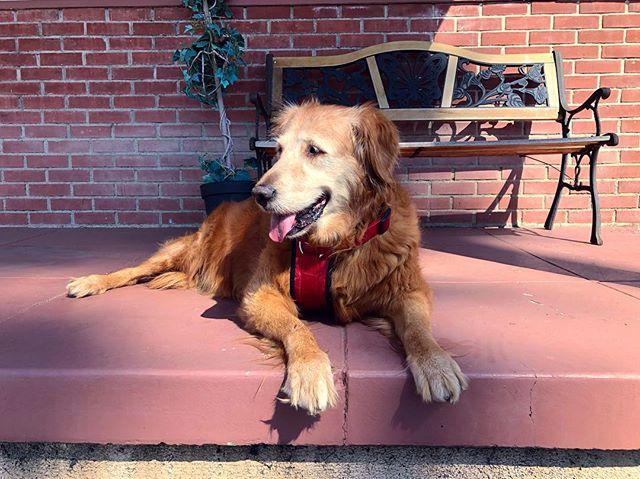 My old girl still got it. 🥰#goldenretriever #walkswithnoel #goldenretrieveroftheday