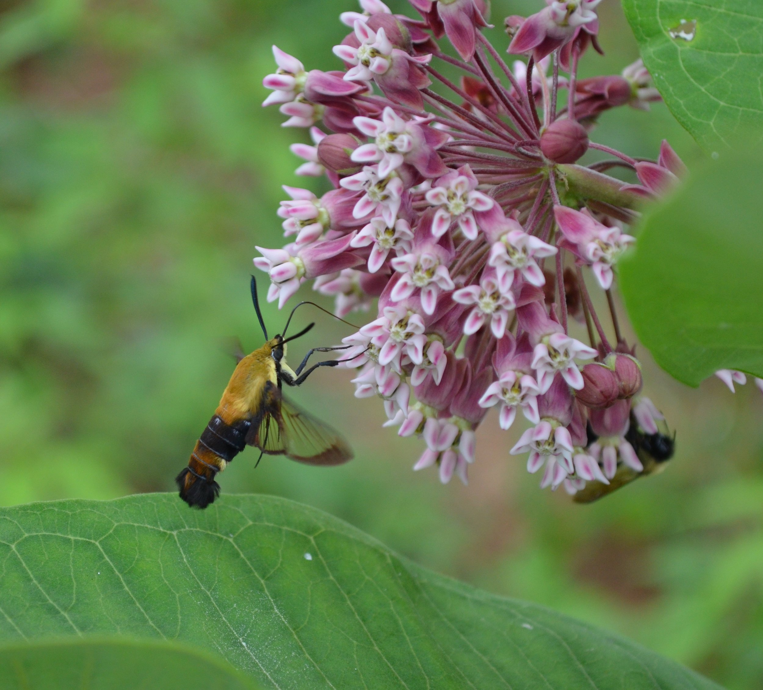 A hummingbird moth visits a native milkweed plant in Hart county, KY  2013-08-04 01.54.12.jpg