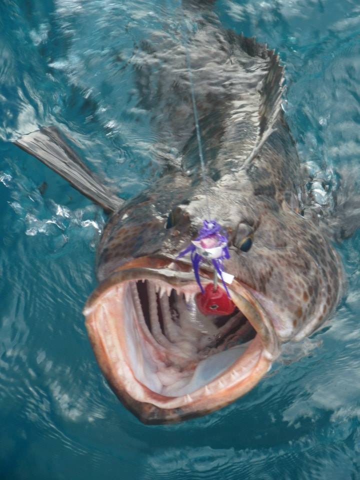 Lingcod on the bite.jpg