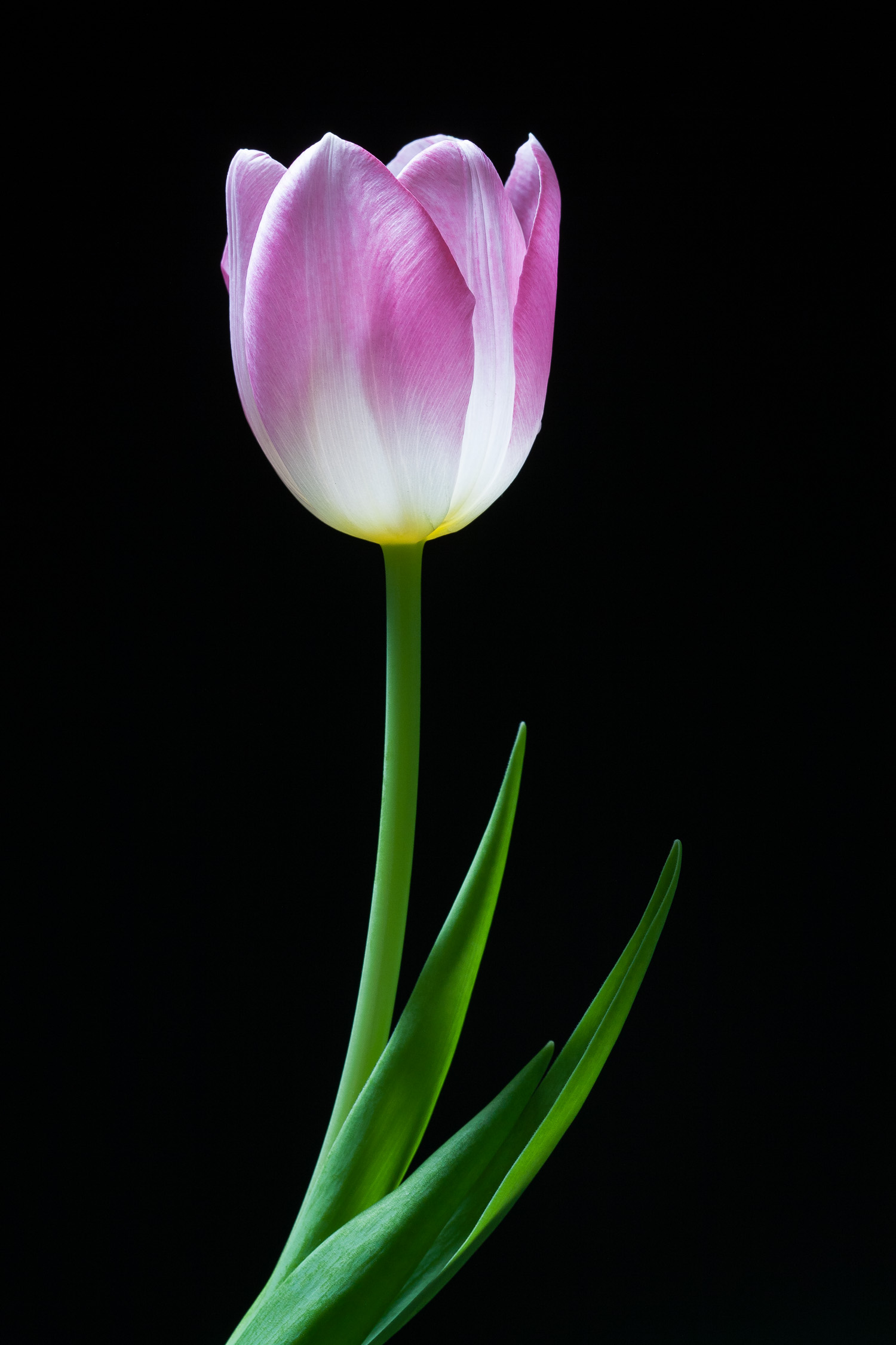 Flowers for Mom:  Pink Tulip II