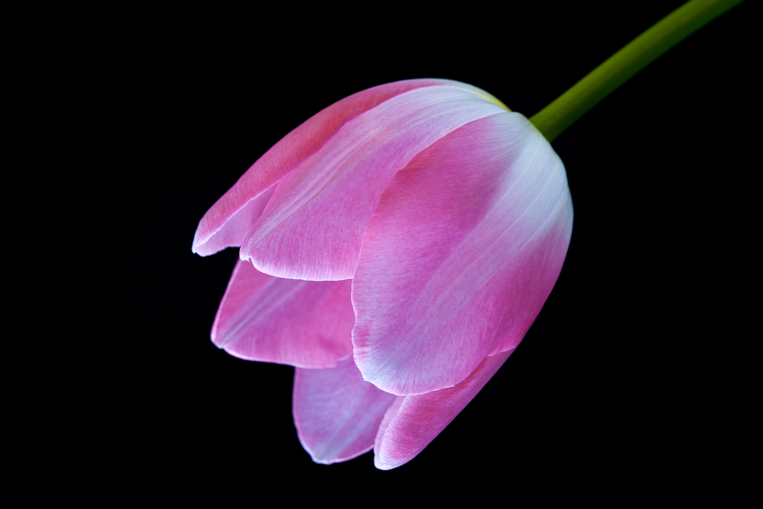 Flowers for Mom:  Pink Tulip