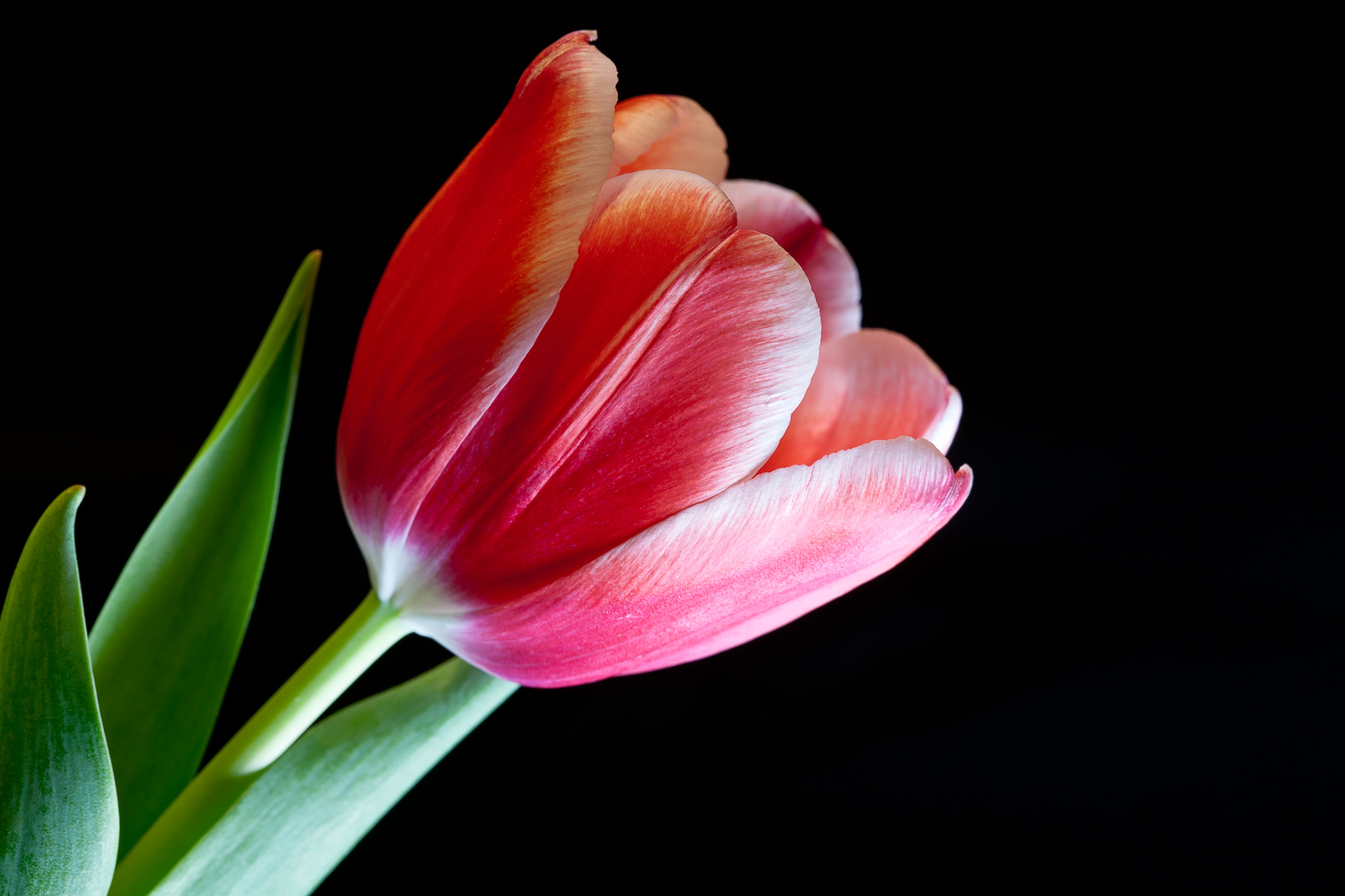 Flowers for Mom:  Red Tulip