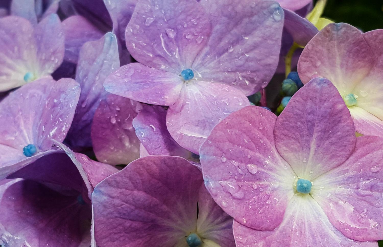 Rainy Hydrangea