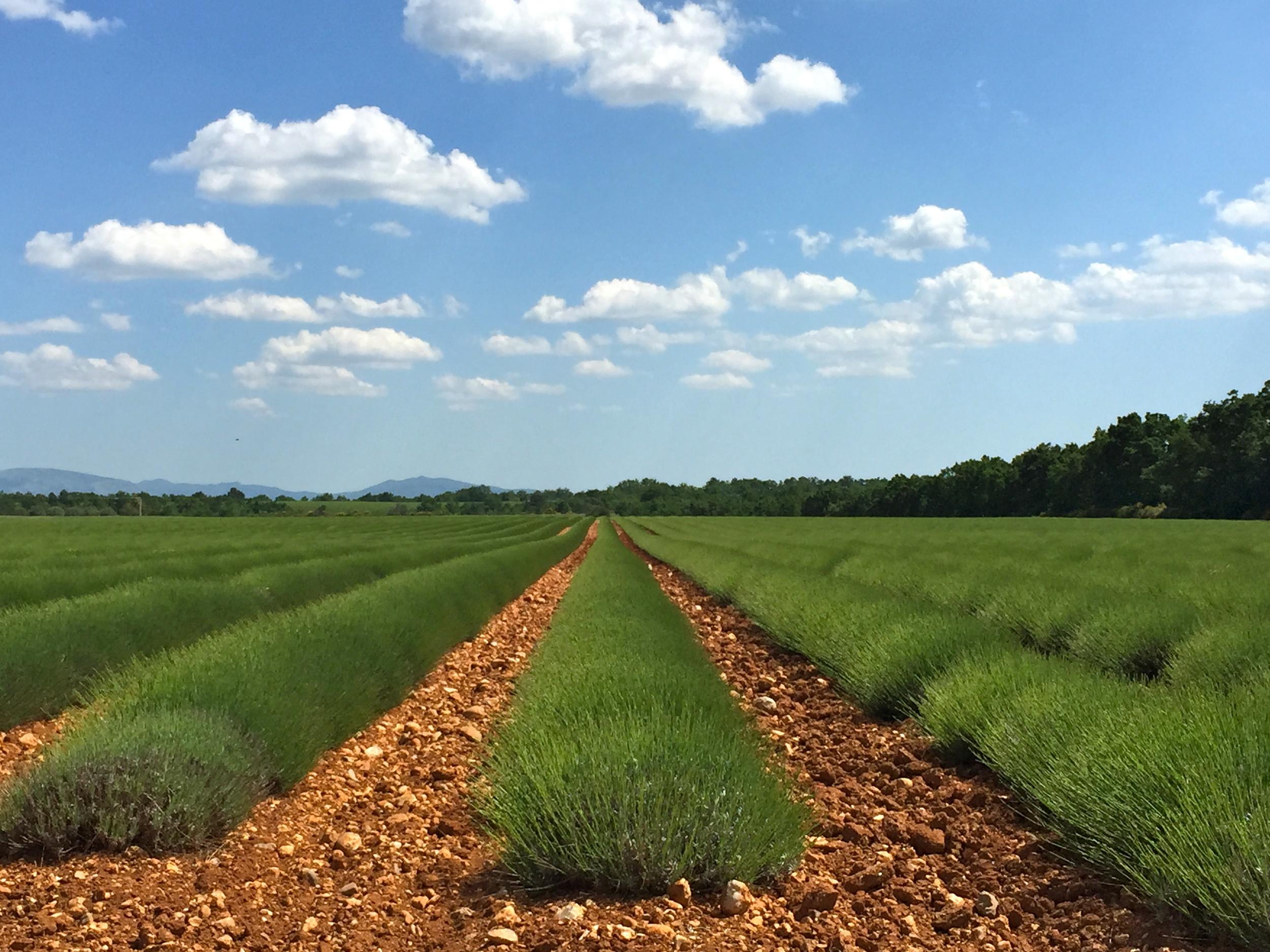 The lavender fields of the Plateau de Valensole.
