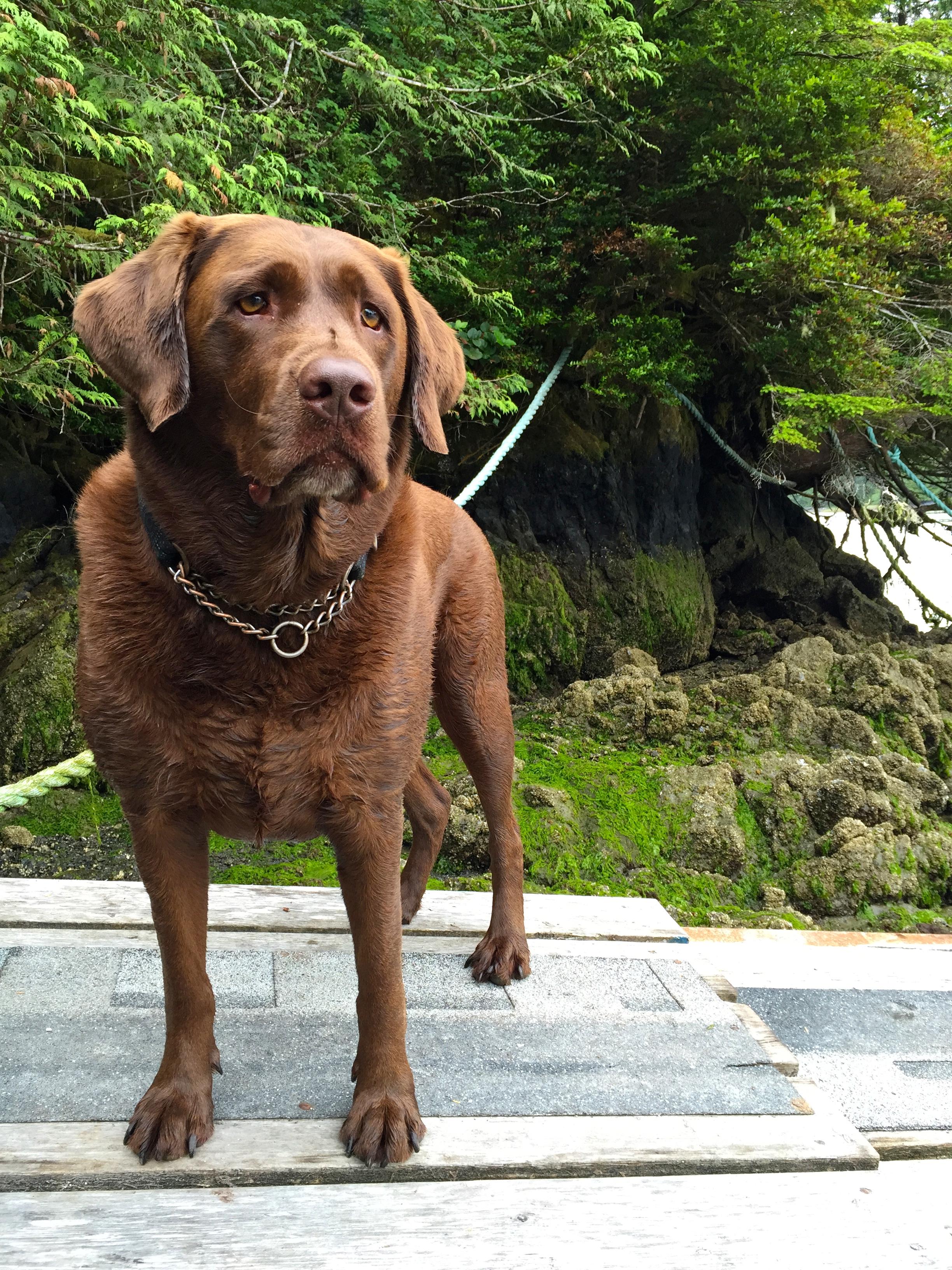 J'adore Labrador, Big Tree Trail, Meares Island, Tofino, BC, Canada.