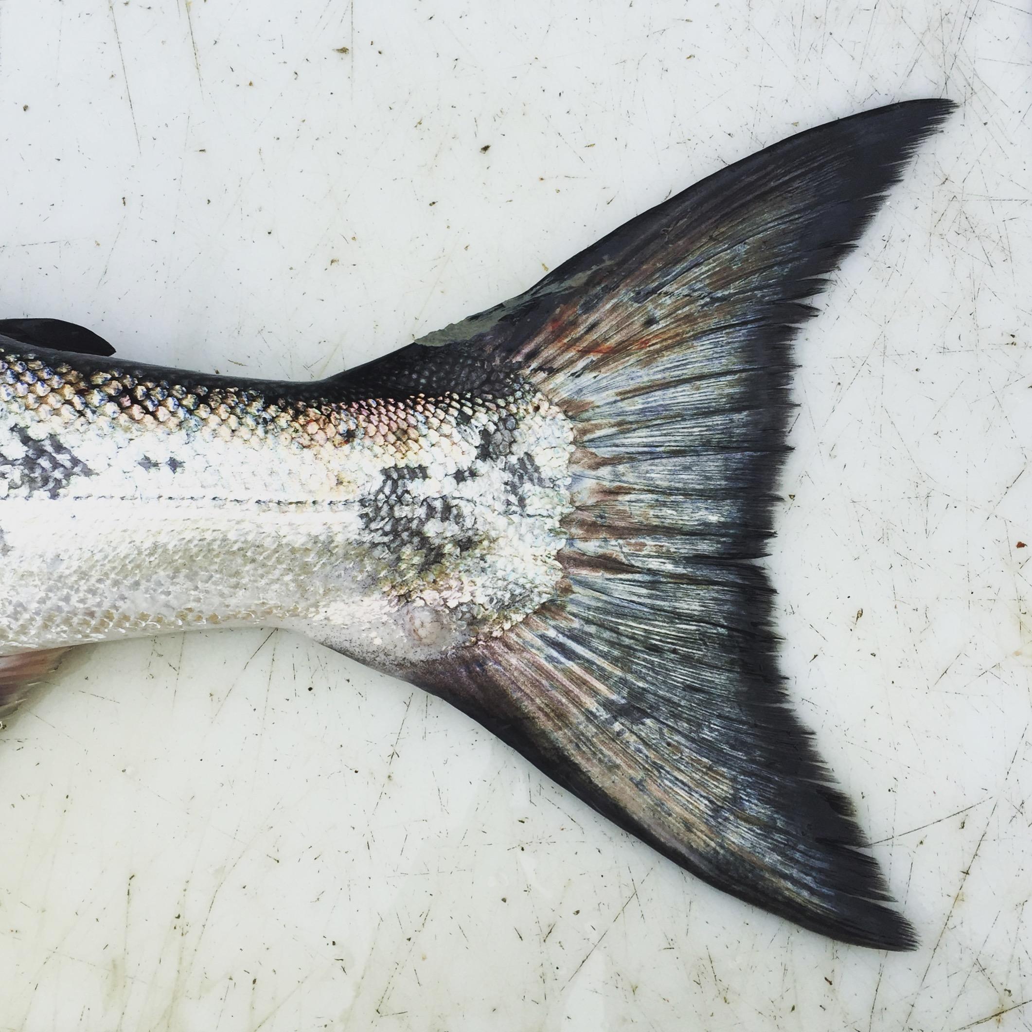 Chinook Salmon, Tofino, BC, Canada.