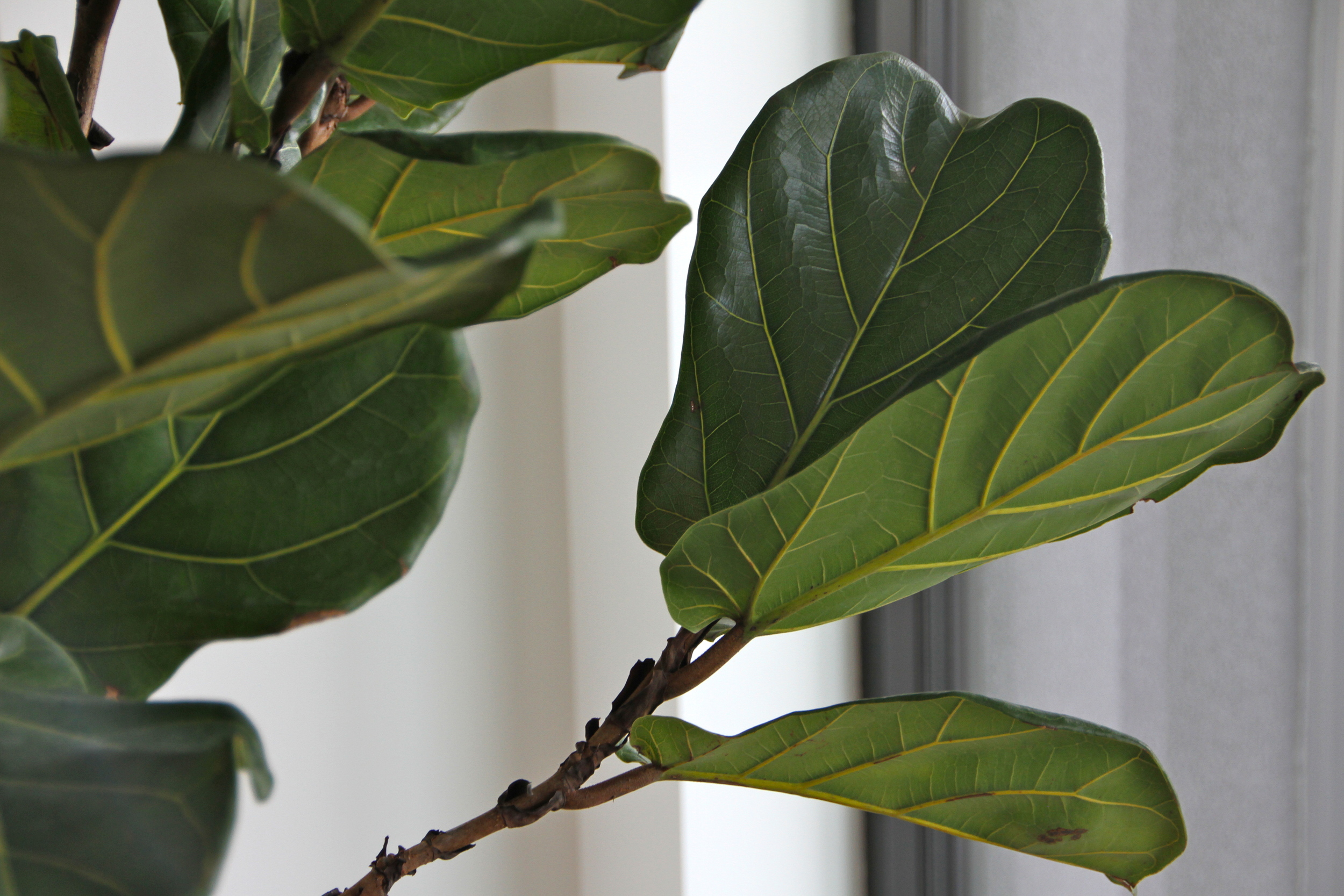 Fiddle Leaf Fig.