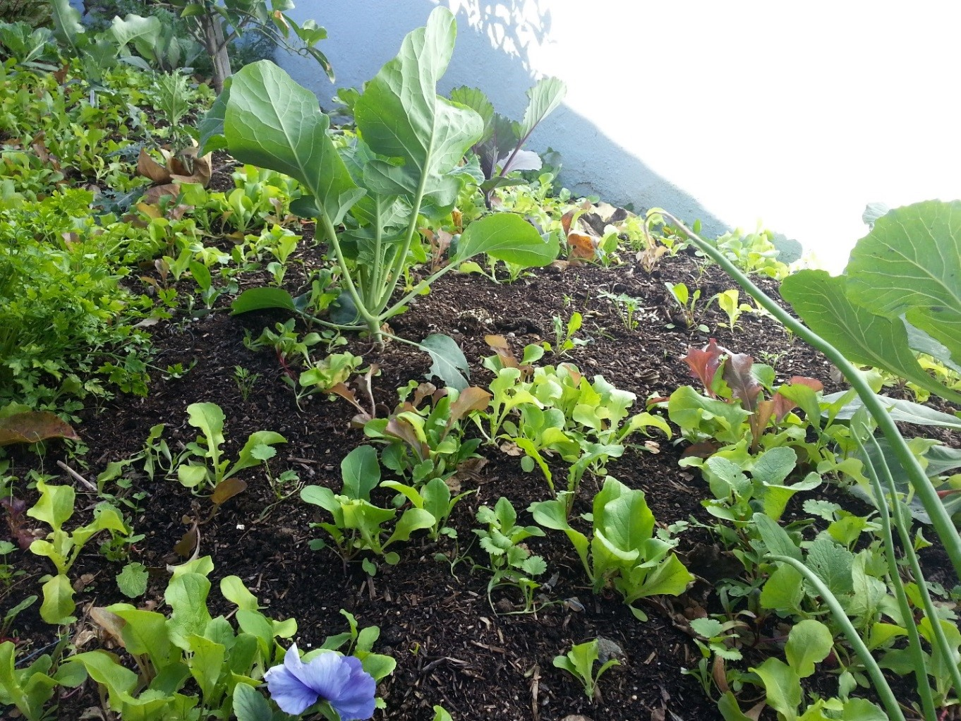 After you have planted your veggie starts, broadcast the seed mix over the beds and water in well. You will see your seed mix come up over the next 2-3 weeks and grow and grow…