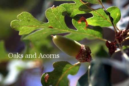 White Oak Acorn.jpg