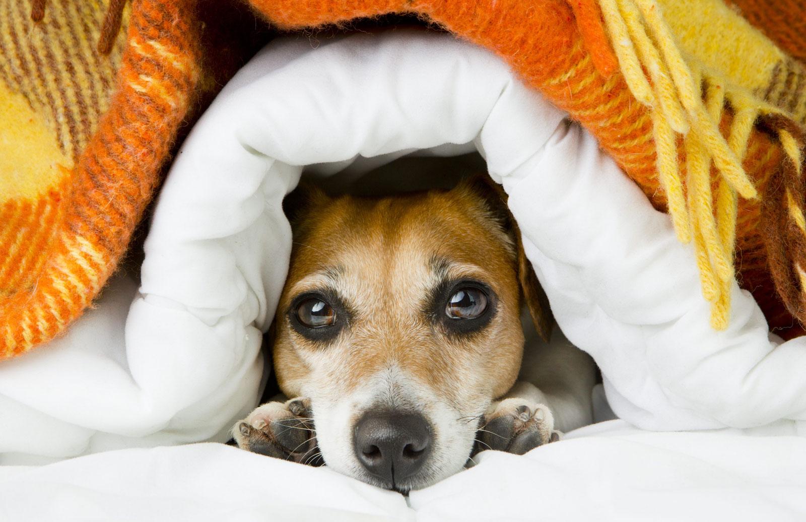 nervous-dog-under-blanket-anxiety.jpg