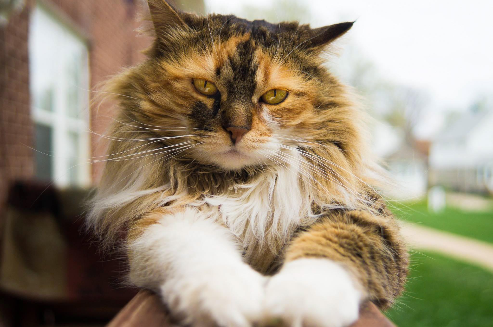 maine coon cat.jpg