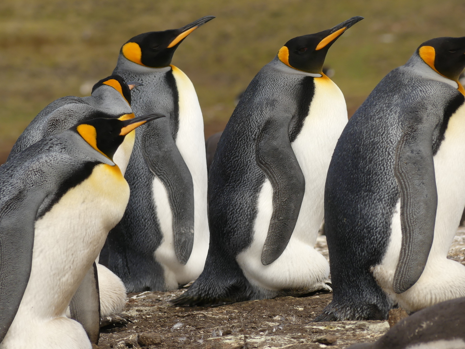 King Penguins at Bluff Cove in the Falklands