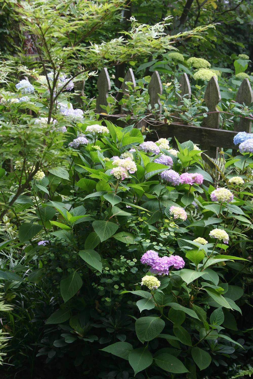 summer-bloomer-hydrangea-mophead-.JPG