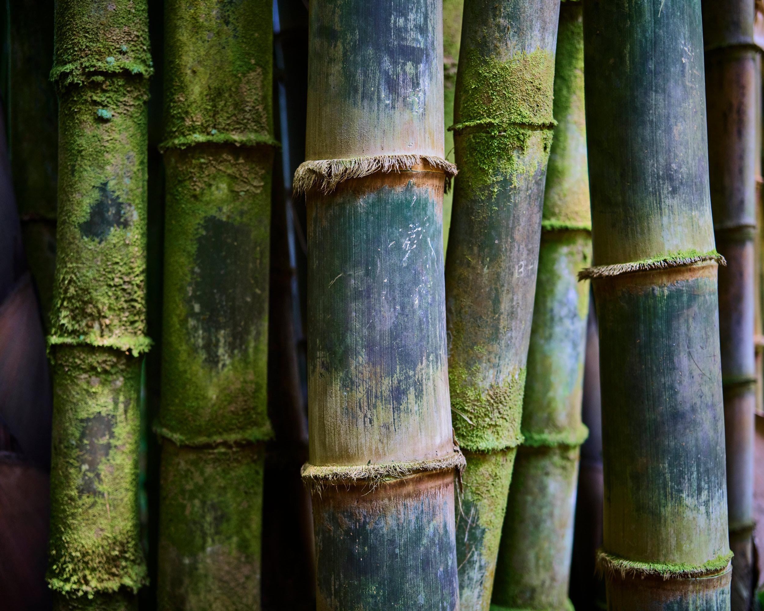 Bamboo in Maui, HI