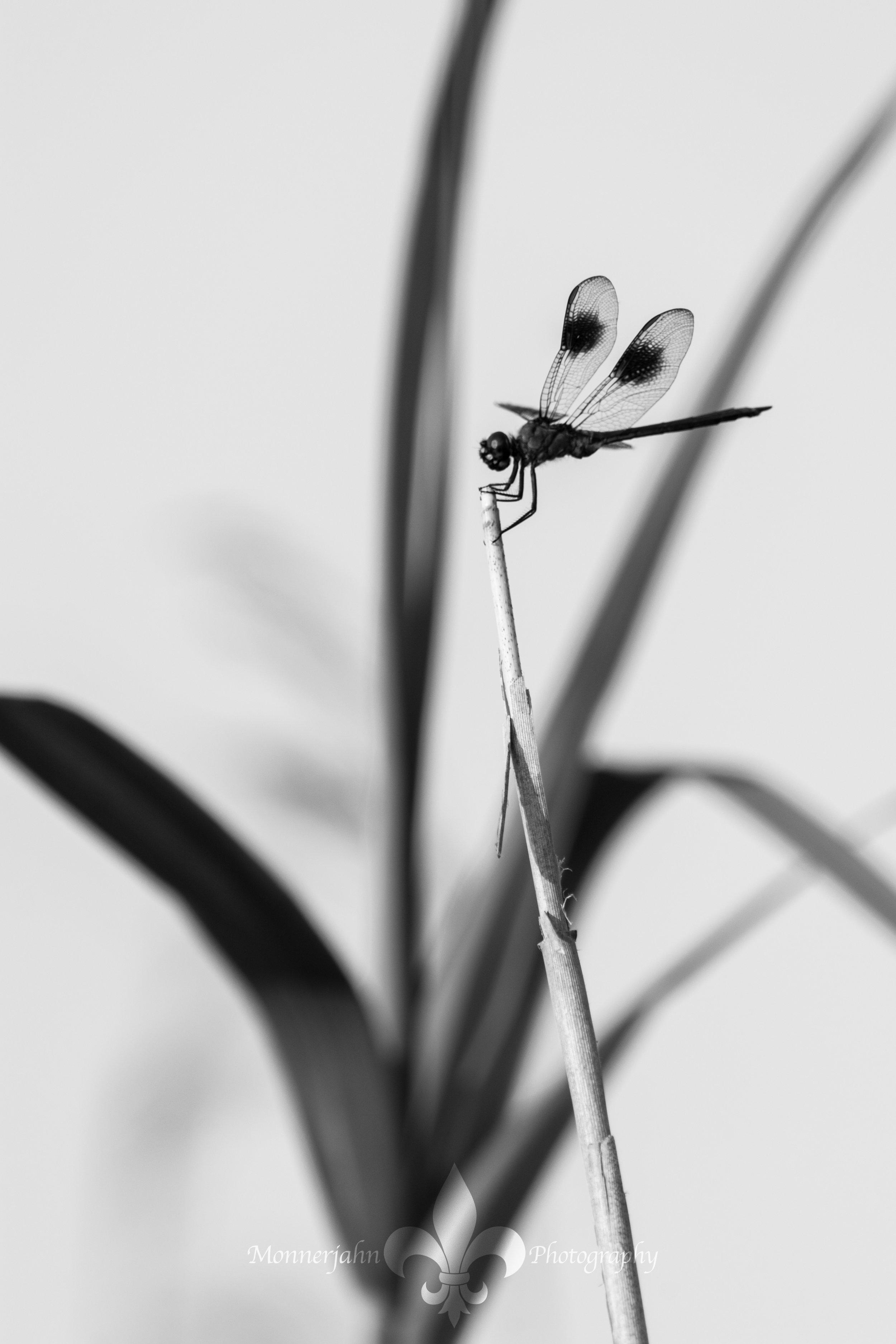Dragonfly-116.jpg