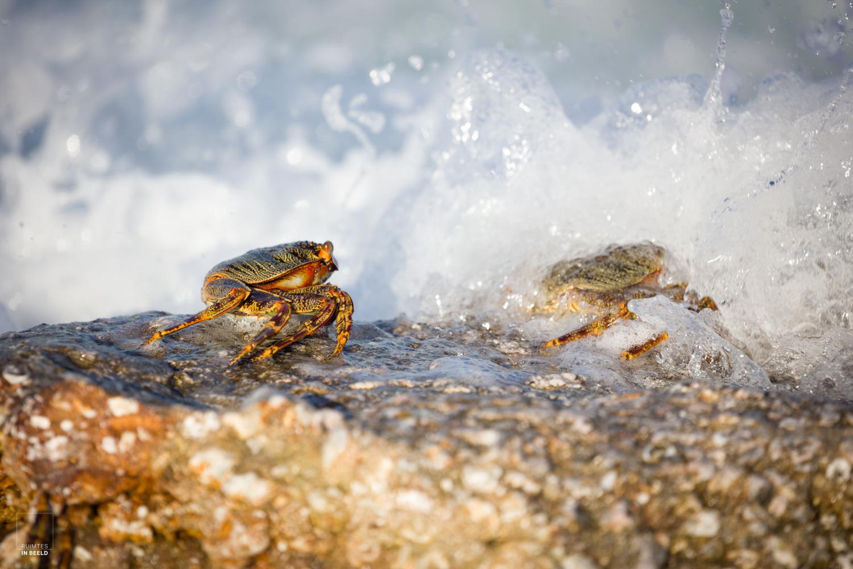 Fel gekleurde krab houdt zich staande in een golf water