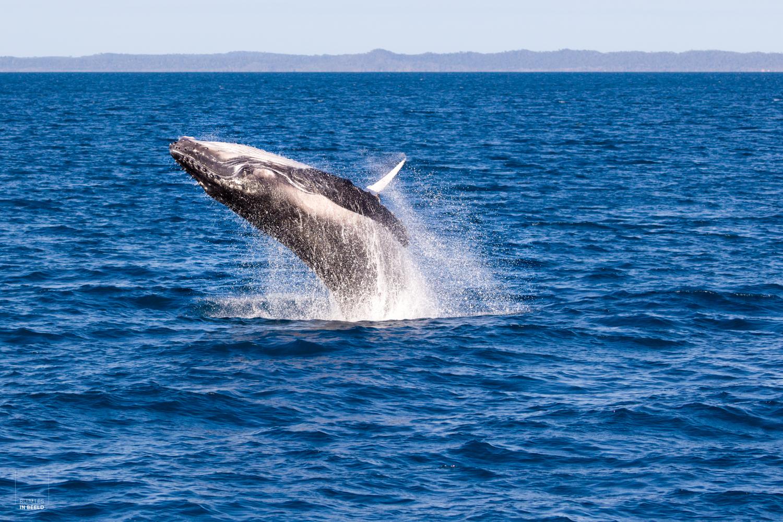 Humpback walvis springt uit het water langs de Australische kust, bij Hervey Bay   Humpback whale jumps out of the water near Hervey Bay, Australia