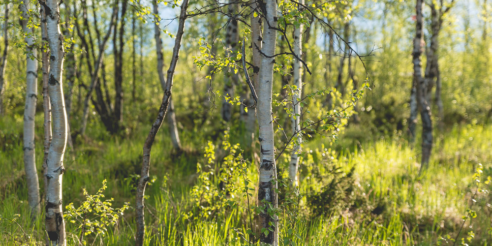 Birch trees in the morning light.
