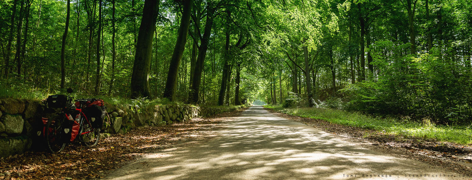 Beech tree forest path.