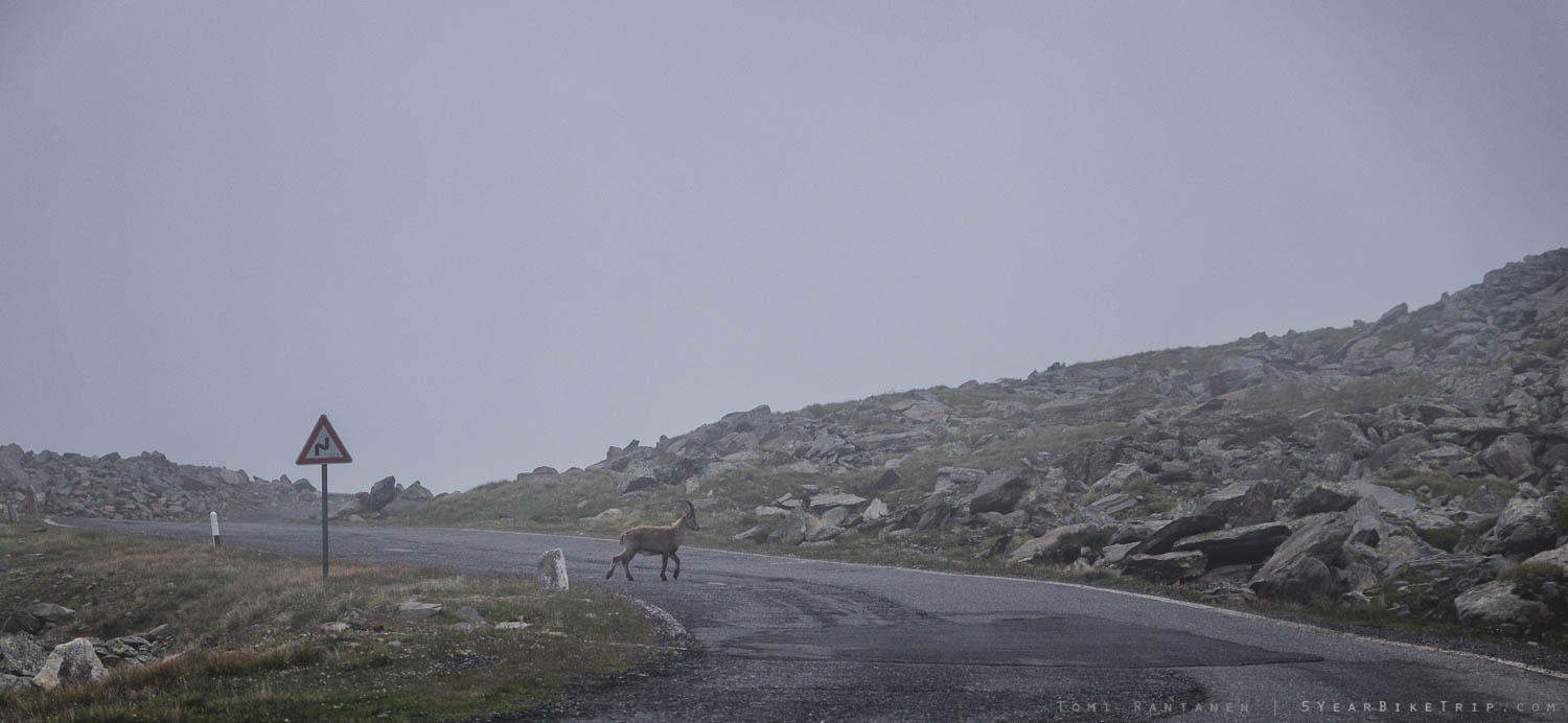 Why did the ibex cross the road?