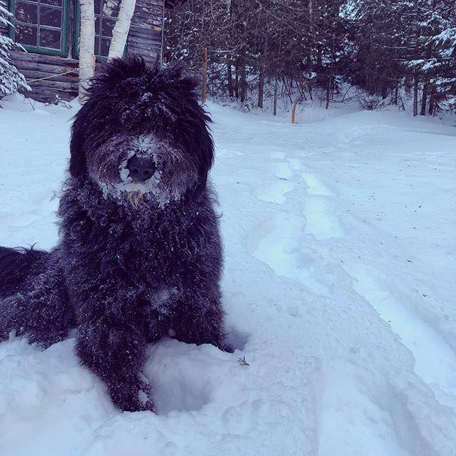 Fluffy Tootsie est une grande fan de la neige! ❄️⛄️ Fluffy Tootsie is a big fan of snow! . . . . #campouareau #campinwinter #hiveraucamp #winterdog #winterdog #snowready #snowlover #fluffydogs #chienfluffy #pretepourlaneige