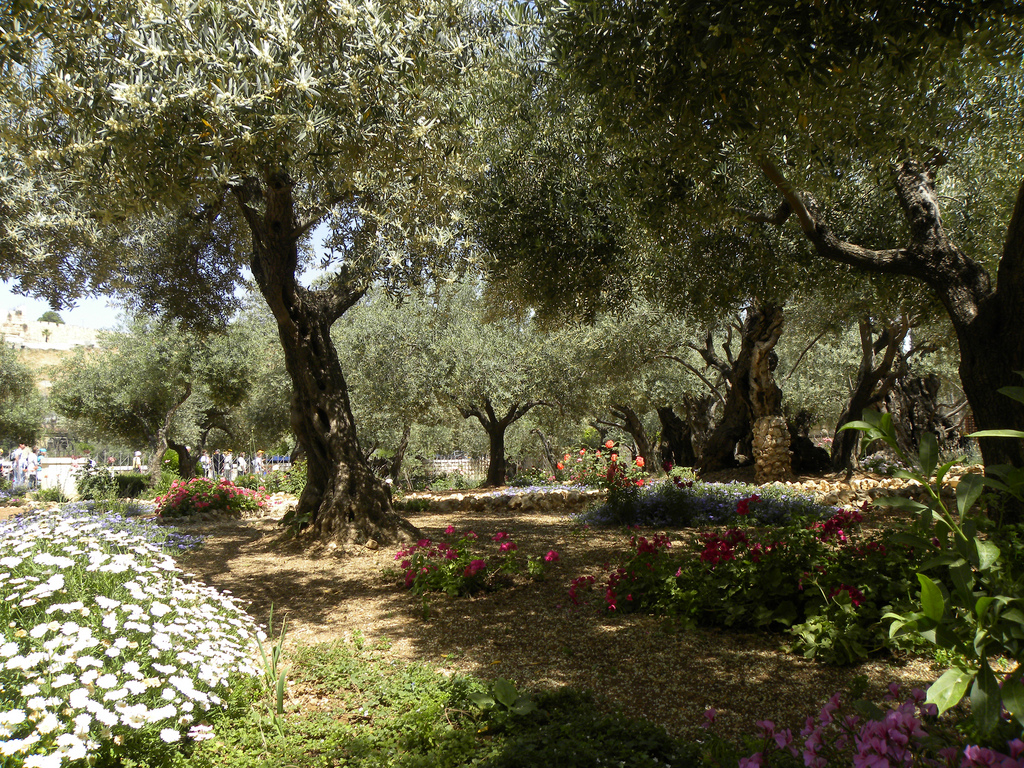 Olive trees in the traditional G arden of Gethsemane