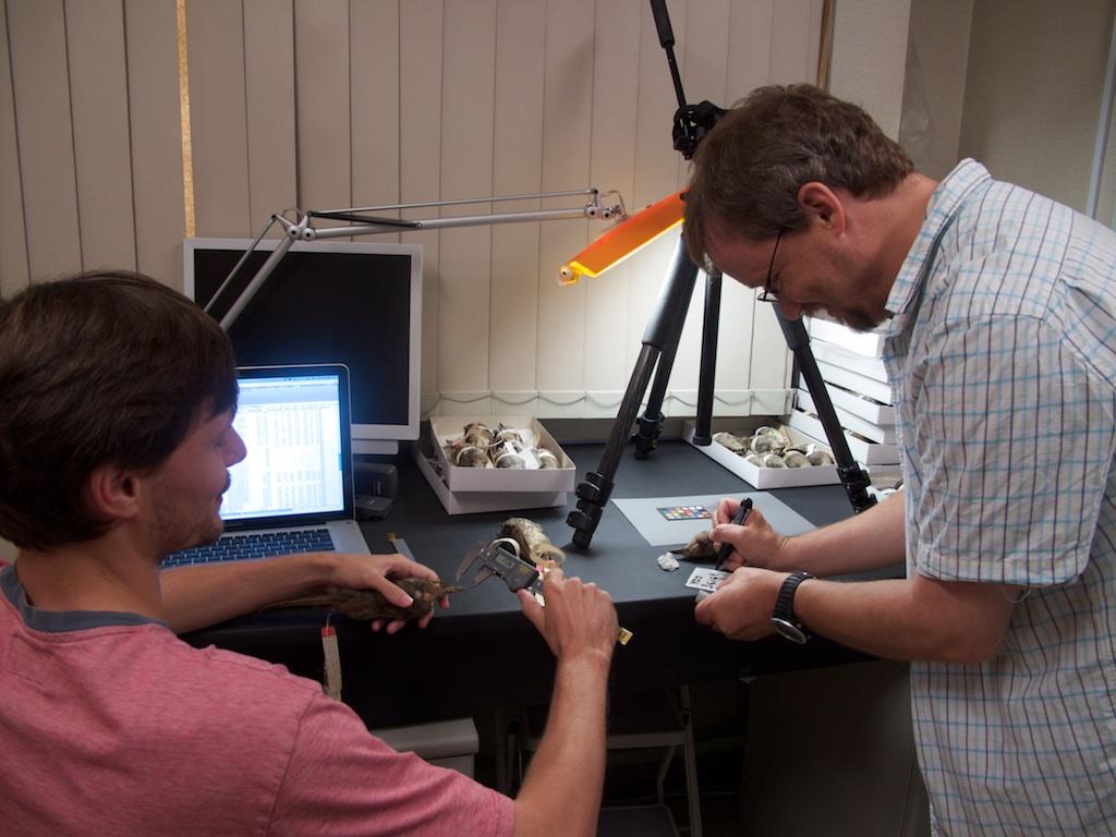 Measuring museum study skins at the Yamashina Institute for Ornithology