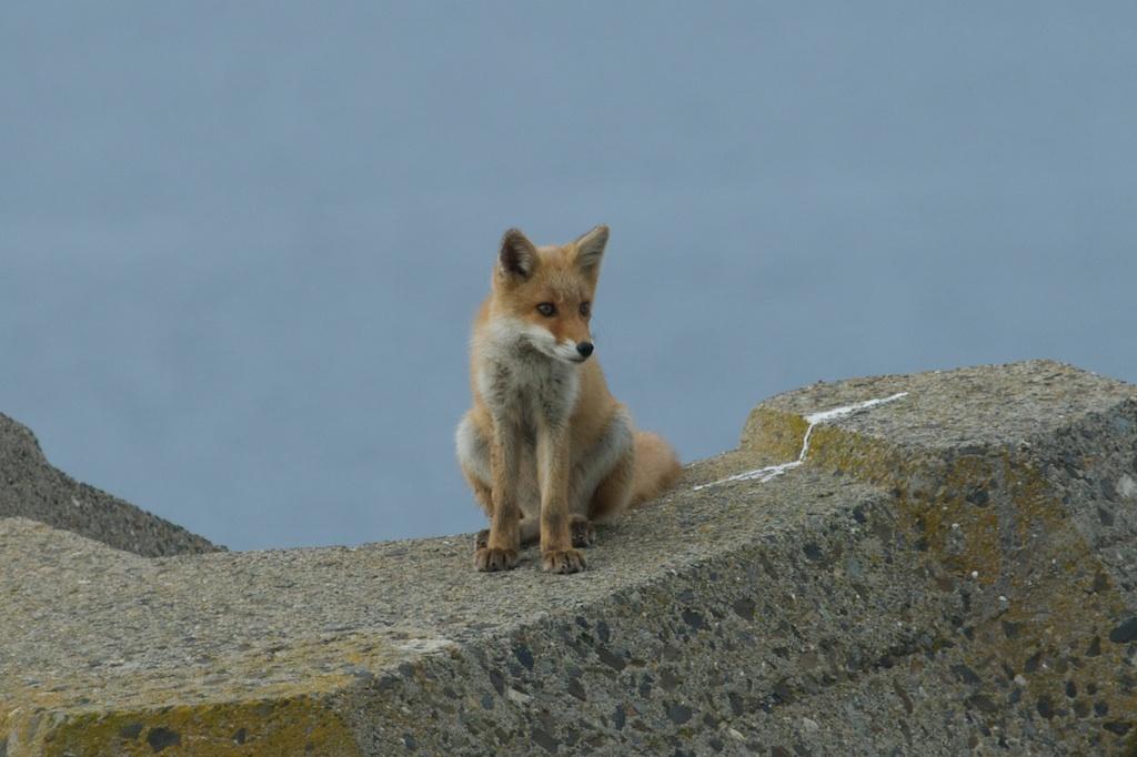 Red Fox, Hokkaido