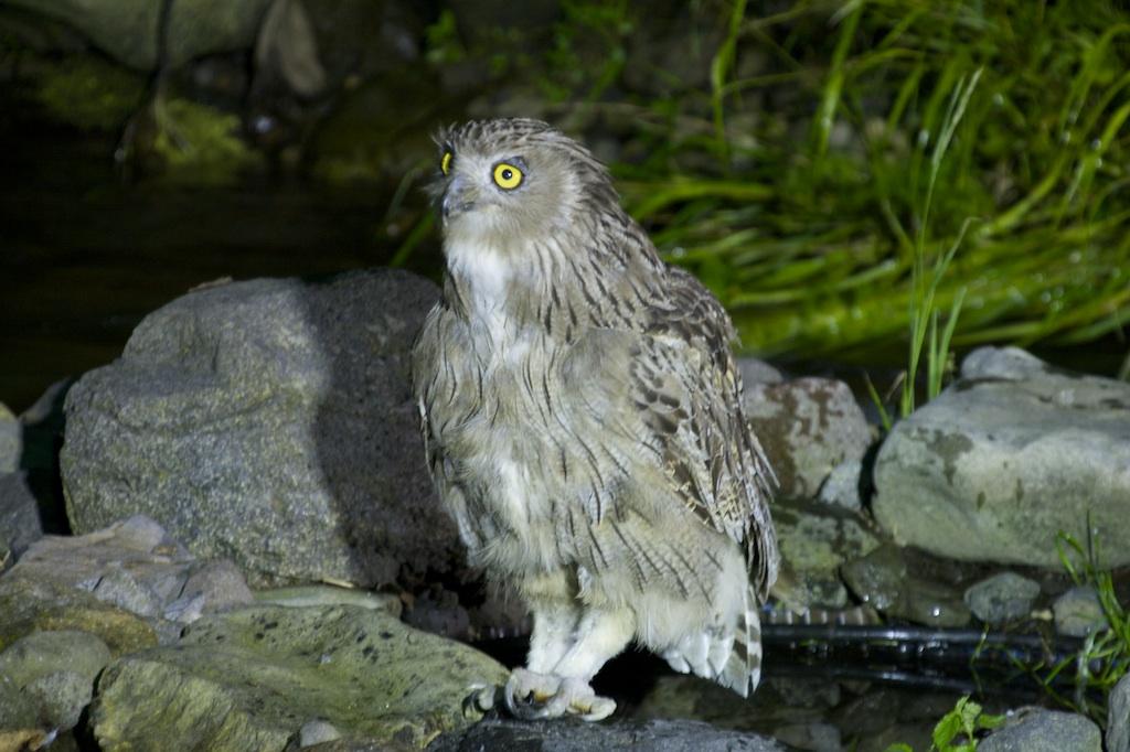 Blakiston's Fish Owl, Hokkaido