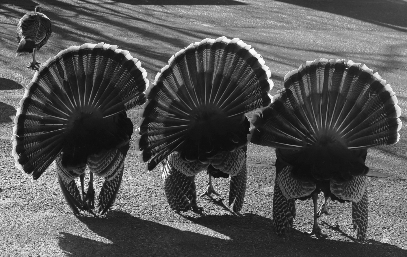 Wild Turkeys, Falmouth Copyright © Mark Chester