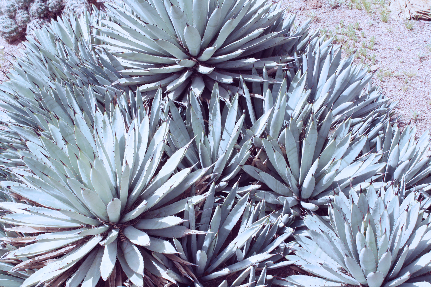 agave 24x36 more blue small.jpg