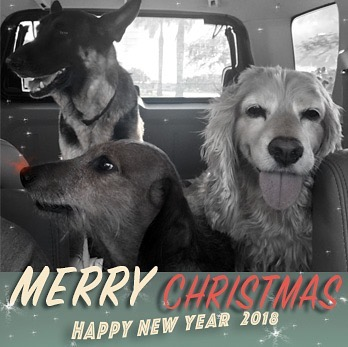 The Odd Group: Odie the doxie, Sam the shepherd, and Randall the spaniel, would like to wish you a Merry Christmas!  #dogsofinstagram #doglife #doxie #dachshund #cockerspaniel #shepard #merrychristmas #theoddbunch #petsofinstagram #pets #paws🐾 #love #holidays
