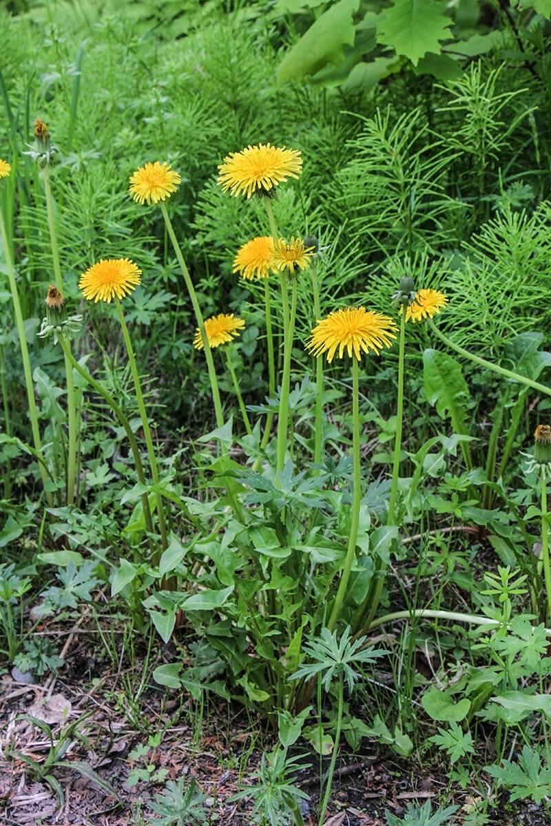 Dandelion Plant 4.jpg