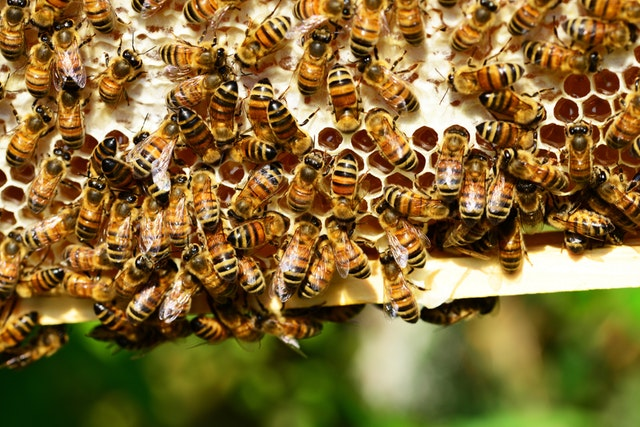 honey-bees-bees-hive-bee-hive-53444.jpeg