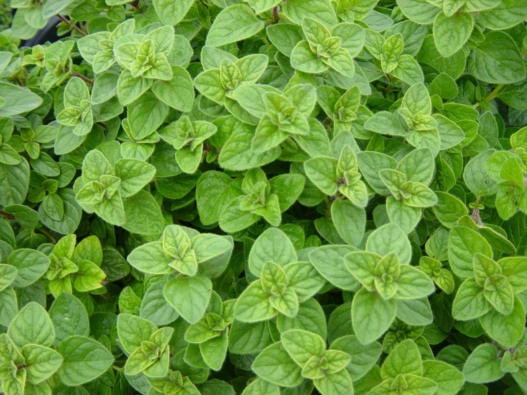 Oregano-plant-Greek-oregano-sept-2015.jpg